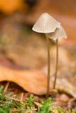 Zwei Pilze Stockbild