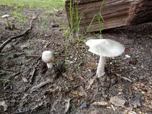 Zwei Pilze des Gifts im Wald Lizenzfreies Stockbild