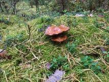 Zwei Pilze im Wald Lizenzfreie Stockbilder