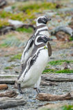 Zwei Pinguine, die auf Kiesel gehen Lizenzfreie Stockfotos