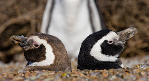 Zwei Pinguine in einem Loch Lustige Abbildung argentinien Halbinsel Valdes Stockfotografie
