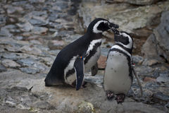 Zwei Pinguine (Spheniscus magellanicus) Lizenzfreies Stockbild