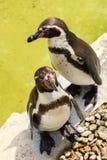 Zwei Pinguine stehen unter der Sonne nahe dem Wasser lizenzfreies stockbild
