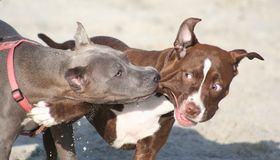 Zwei Pitbull-Terrierfreunde Stockfotografie