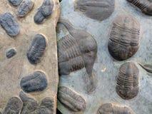 Zwei Platten von Felsen mit versteinerten Tieren sind trillobites: auf links ist eine gelbe Zucht mit kleinen trilobites, auf dem Stockfotografie