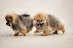 Zwei Pomeranian Spitzwelpen Lizenzfreies Stockfoto