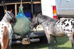 Zwei Ponys, die vom Heunetz einziehen. Stockfoto