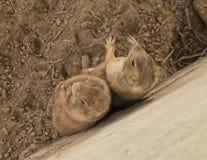 Zwei Präriehunde, die zusammen stehen, lehnend an der Zementwand Lizenzfreie Stockfotografie