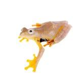 Zwei-punktierter fliegender Baumfrosch, Rhacophorus-rhodopus, auf Weiß Stockbild