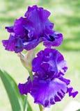 Zwei purpurrote Blenden Lizenzfreie Stockbilder