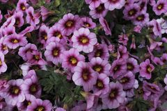 Zwei purpurrote Petunienblumen des Tones stockfoto