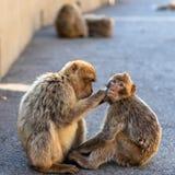 Zwei putzende Makaken Lizenzfreie Stockfotos