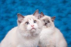 Zwei ragdoll Katzen auf blauem Hintergrund Lizenzfreie Stockfotografie