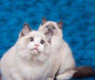 Zwei ragdoll Katzen auf blauem Hintergrund Stockbilder