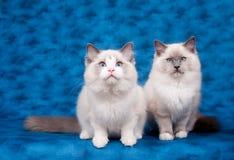 Zwei ragdoll Katzen auf blauem Hintergrund Stockfoto