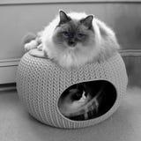 Zwei ragdoll Katzen mit blauen Augen im gemütlichen Haustierhaus Lizenzfreie Stockfotografie