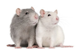 Zwei Ratten, 12 Monate alte Stockfoto