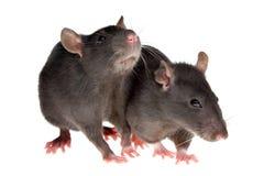 Zwei Ratten Lizenzfreie Stockfotos