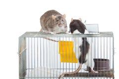 Zwei Ratten auf einem Korb Lizenzfreie Stockbilder