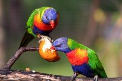 Zwei Regenbogen lorikeet Lizenzfreie Stockbilder