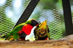 Zwei Regenbogen Lorikeet-Vögel Lizenzfreie Stockfotos