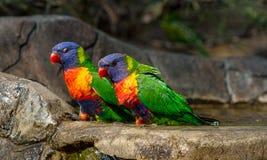 Zwei Regenbogen lorikeets, die nahe der Front eines Vogelbades sitzen Lizenzfreie Stockbilder