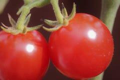 Zwei reife rote Tomaten auf der Rebe Stockbilder