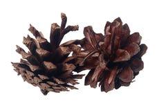 Zwei reife Samen und zurückgestellte Kiefernkegel Lizenzfreie Stockfotografie