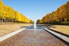 Zwei Reihen von goldenen Ginkgobäumen unter dem blauen Himmel Stockfotografie