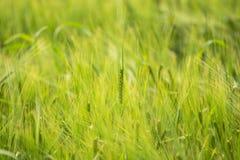Zwei-Reihengerste (Hordeum vulgare) wachsend auf dem Gebiet lizenzfreie stockfotos