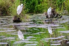 Zwei Reiher in einem Teich Stockfotos