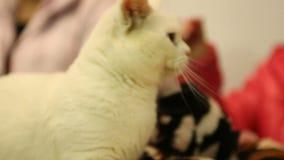 Zwei reinrassige Katzen, die auf Tabelle bei Haustier Ausstellung, Munchkin und Sphynx sitzen stock video footage
