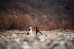 Zwei reinrassige Labrador-Hunde im Freien während des Vorfrühlings stockbilder