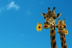 Zwei reizende Giraffen Stockbild