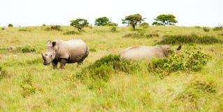 Zwei Rhinos in der Savanne Lizenzfreies Stockbild