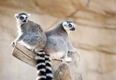 Zwei Ring angebundene Lemurs lizenzfreie stockbilder