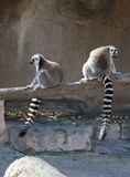 Zwei Ring angebundene Lemurs lizenzfreie stockfotos