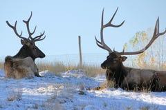 Zwei Rocky Mountain Bull Elk stockfotos