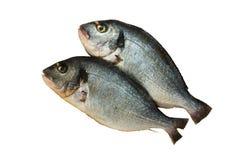 Zwei rohe Denis-Fische getrennt worden auf Weiß Lizenzfreie Stockfotografie