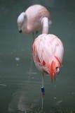 zwei rosa Flamingos stehen auf einem Bein still Stockbild