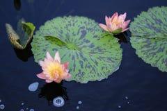 Zwei rosa Lotus Flowers Growing mitten in einem Teich im Garten umgeben von Lily Pads Stockfoto