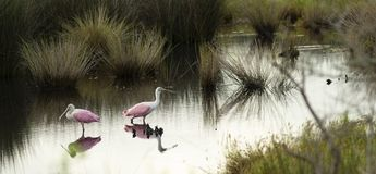 Zwei rosa Spoonbills-Furt im Sumpf in Georgia United State Lizenzfreie Stockbilder