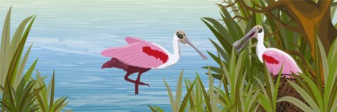 Zwei rosa Vögel des rosa Spoonbill in einem Nest von Niederlassungen auf dem Ufer stock abbildung