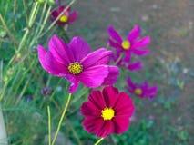 Zwei rosafarbene Blumen Stockbilder