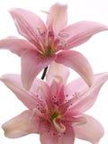 Zwei rosafarbene Lilien auf Weiß Lizenzfreies Stockbild