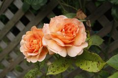 Zwei rosafarbene Rosen Stockfotos