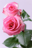 Zwei rosafarbene Rosen Stockfotografie