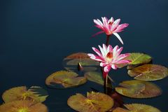 Zwei rosafarbene Wasser-Lilien Lizenzfreies Stockfoto