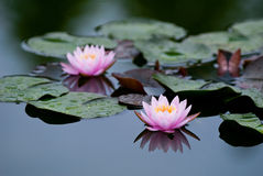 Zwei rosafarbene Wasser-Lilien Stockfotografie