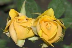 Zwei Rosen Stockfoto